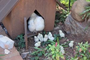 New Silky chicks3