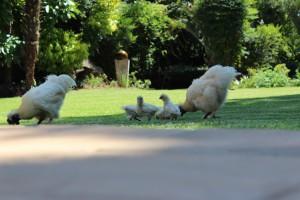 New Silky chicks4
